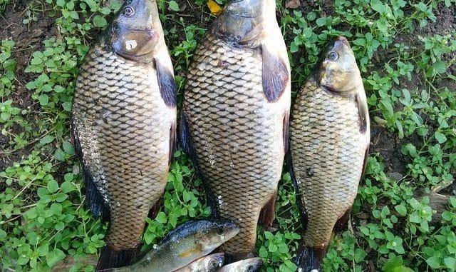 carpes pêchées après une pêche sportive
